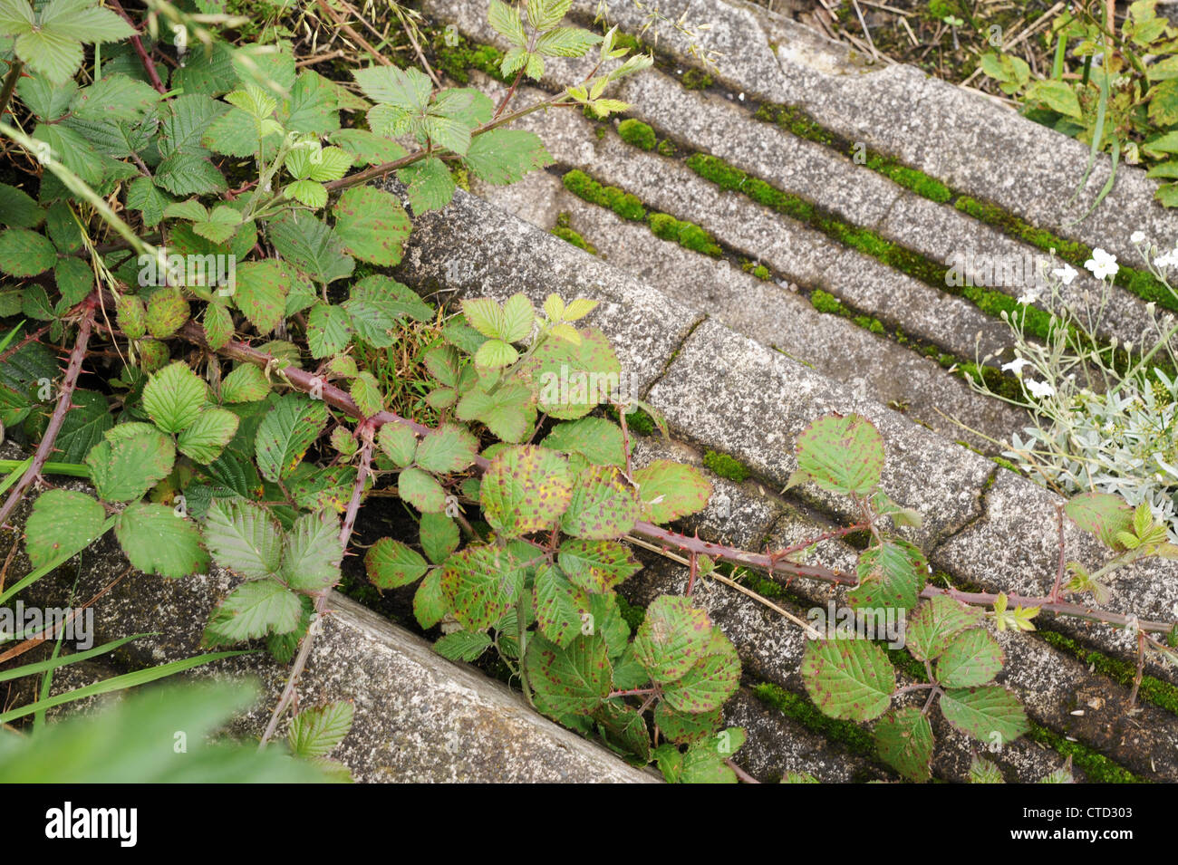 Steps overgrown by brambles and moss. - Stock Image