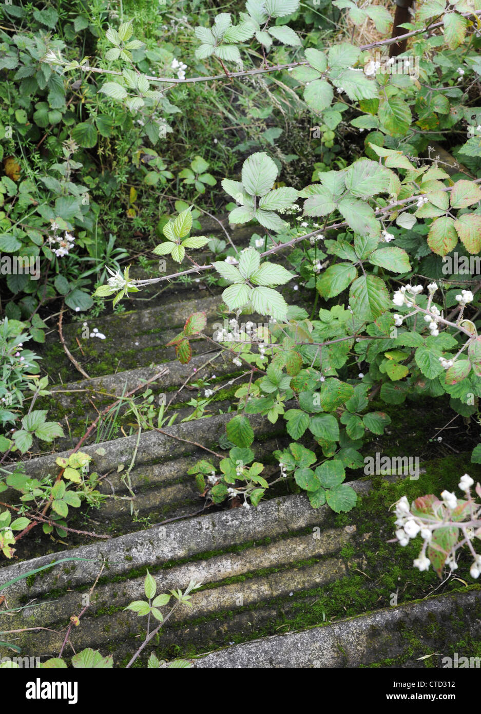 Steps overgrown by brambles. - Stock Image