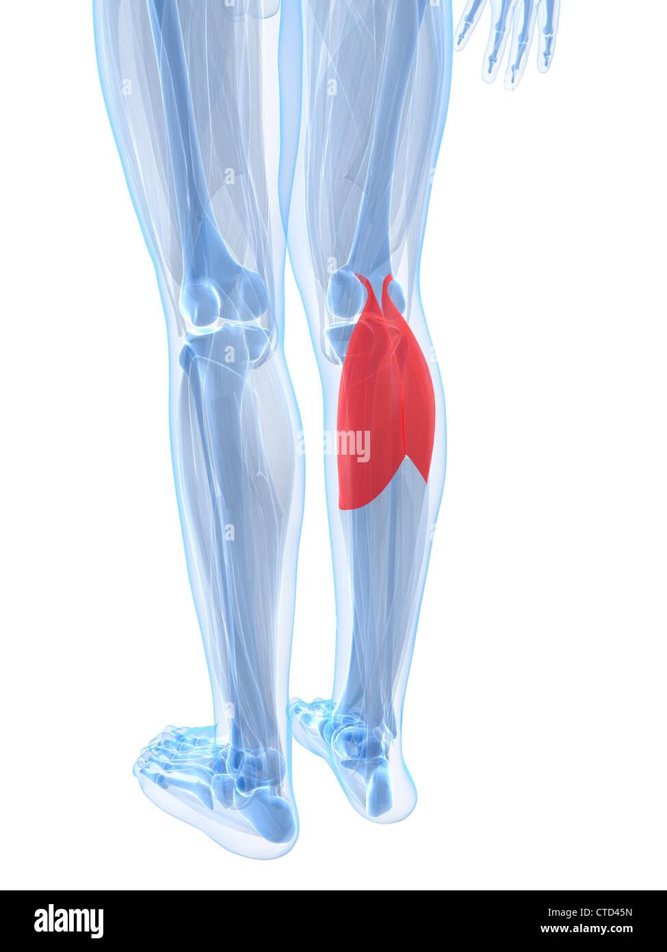 Calf muscles  artwork - Stock Image