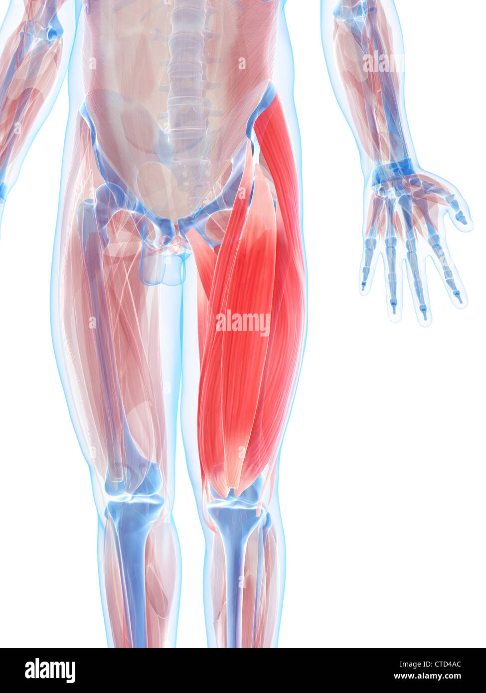 Thigh muscles  artwork - Stock Image