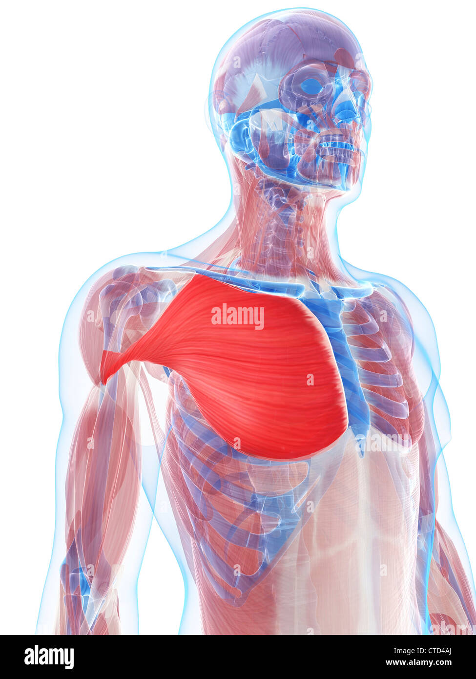 Pectoralis major muscle  artwork - Stock Image