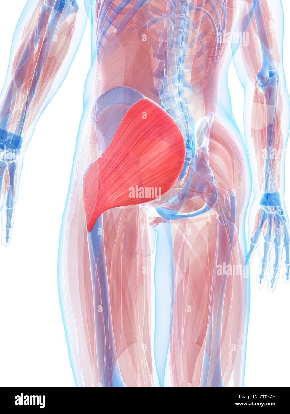 Gluteus maximus muscle  artwork - Stock Image