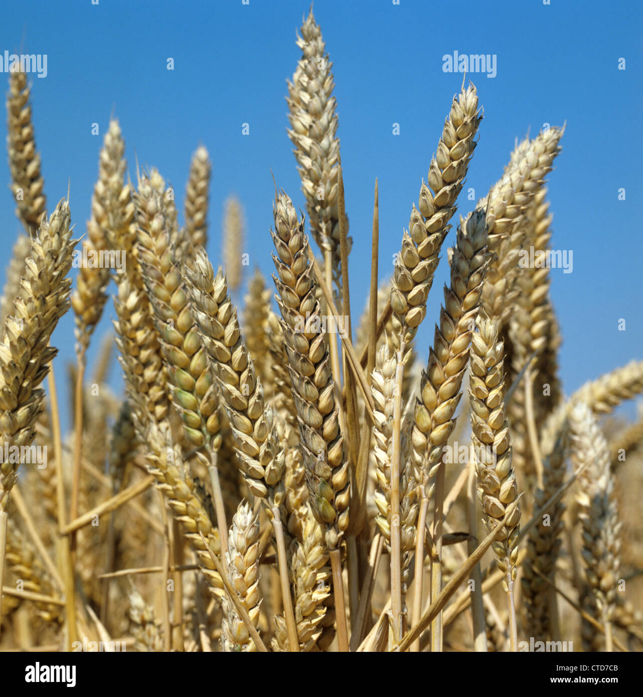 Ripening ears of wheat against a blue summer sky - Stock Image