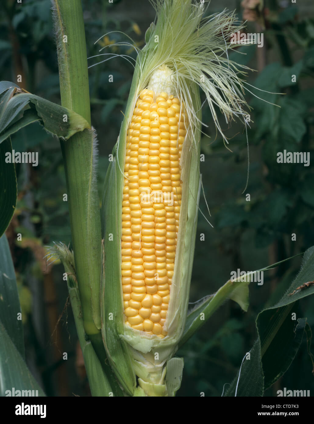 Large ripe sweet corn cob (Zea mays) exposed to show grains on the plant - Stock Image