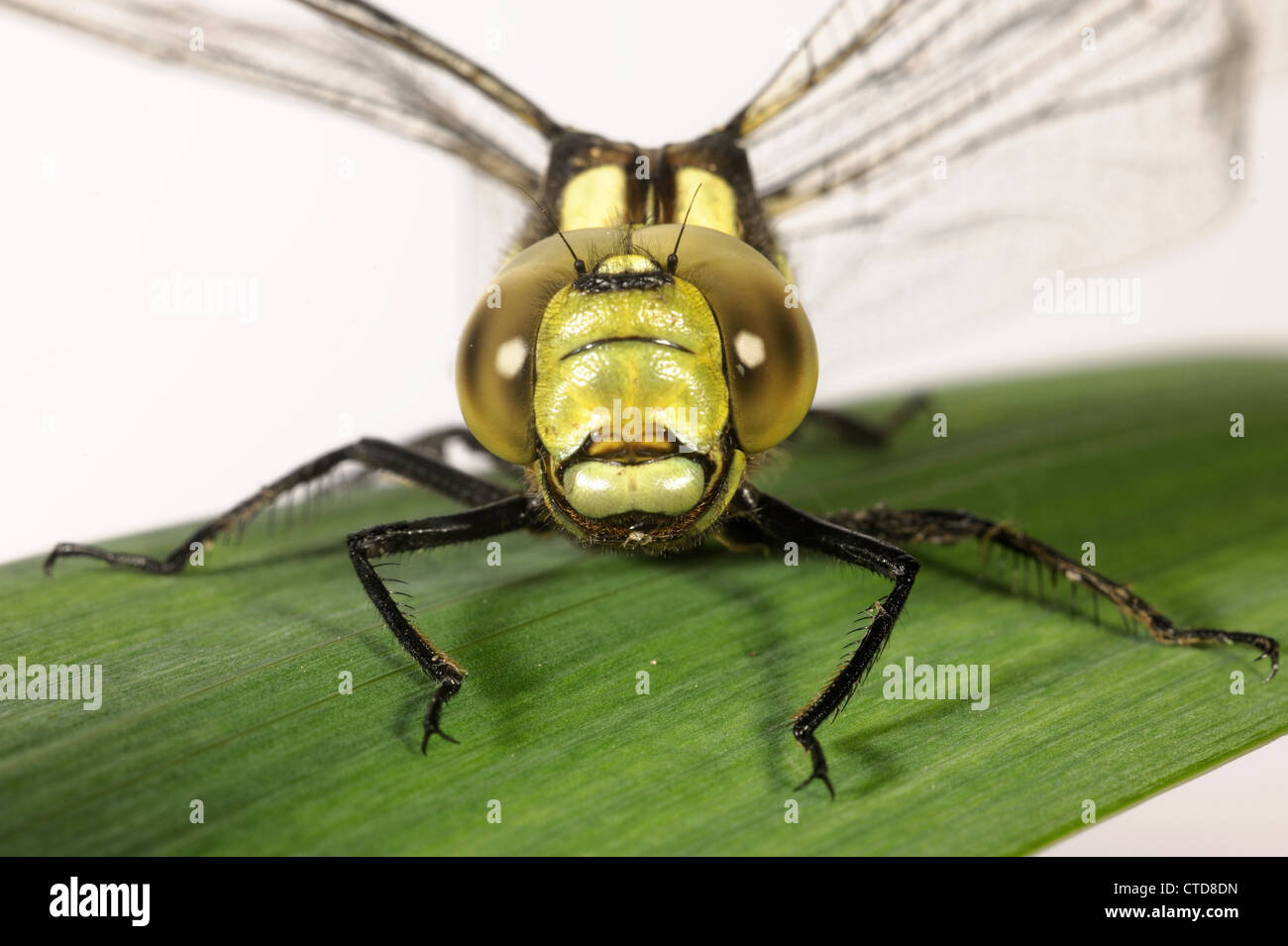 Southern hawker dragonfly Aeshna cyanea newly hatched adult head & eyes - Stock Image