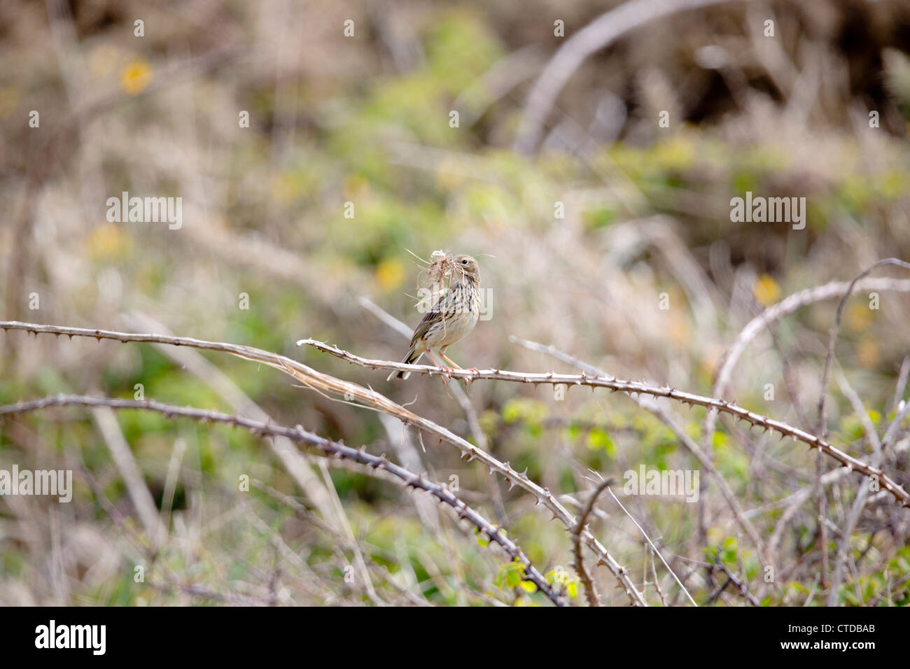 Meadow Pipit; Anthus pratensis; with nesting material; UK - Stock Image