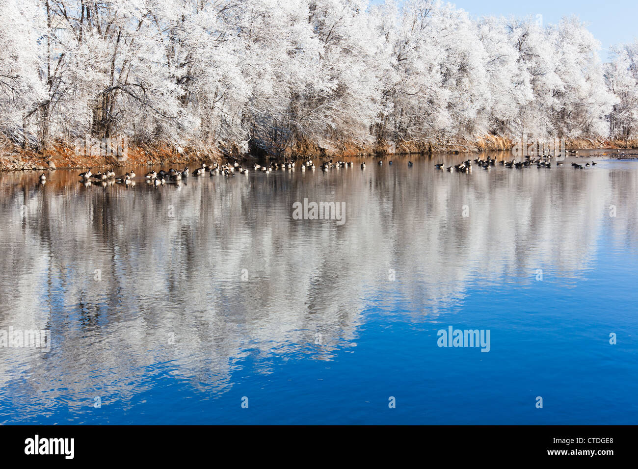 Geese rest along the South Platte River in Denver, Colorado on a frosty cold winter morning. - Stock Image