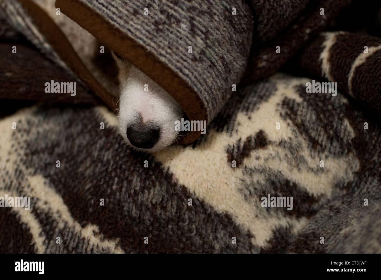 Jack Russell Terrier hiding under blankets - Stock Image