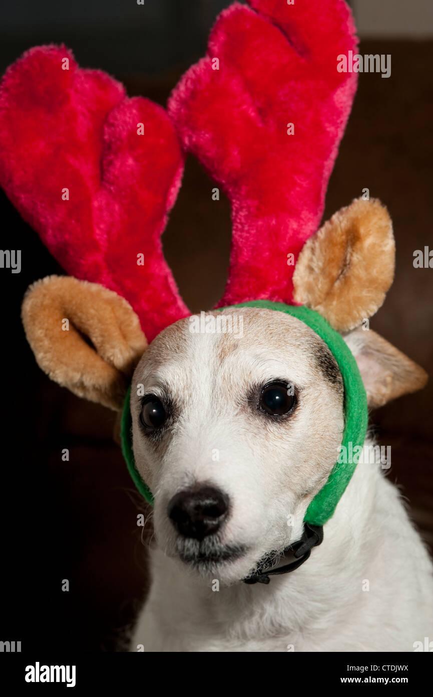 Jack Rrussell Terrier wearing Reindeer ears interior sitting Stock Photo