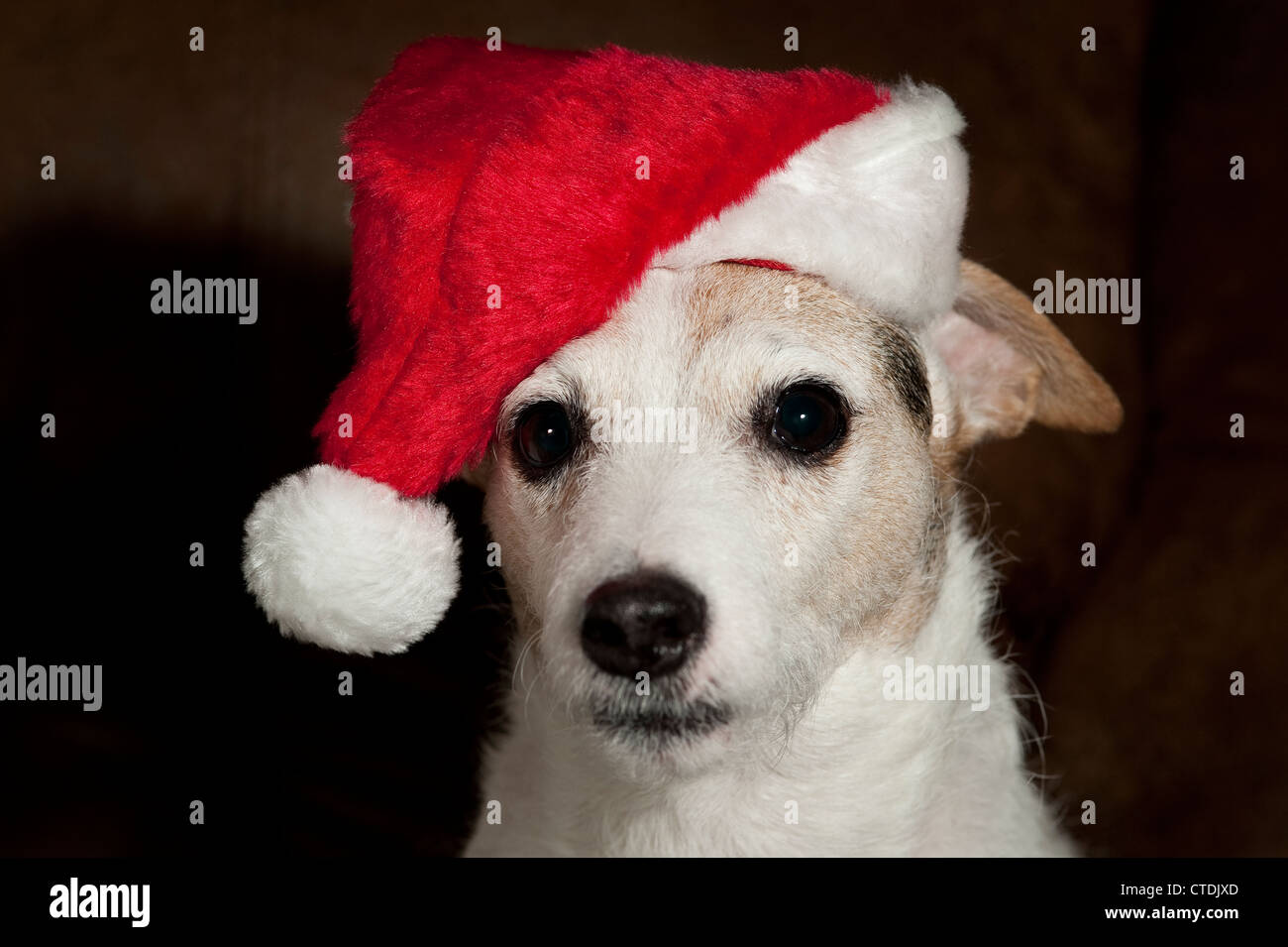 Jack Russell Terrier wearing Santa Hat portrait interior. - Stock Image