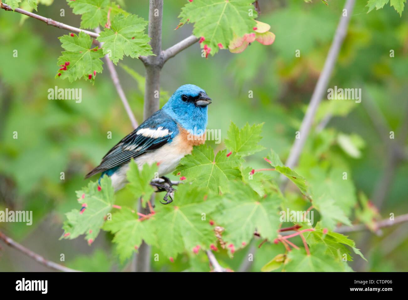 Lazuli Bunting in Maple Tree - Stock Image