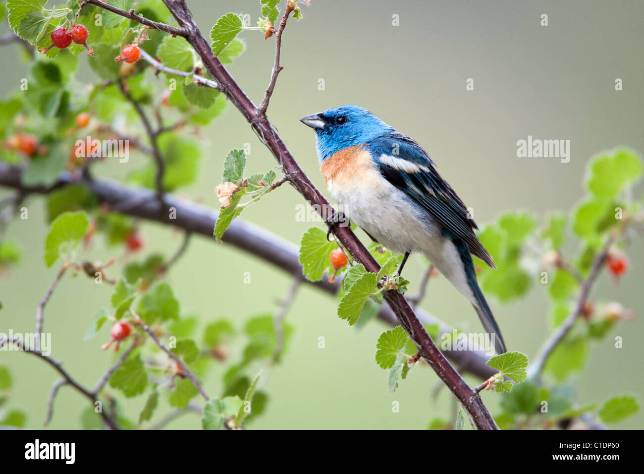 Lazuli Bunting in Western Red Currant - Stock Image