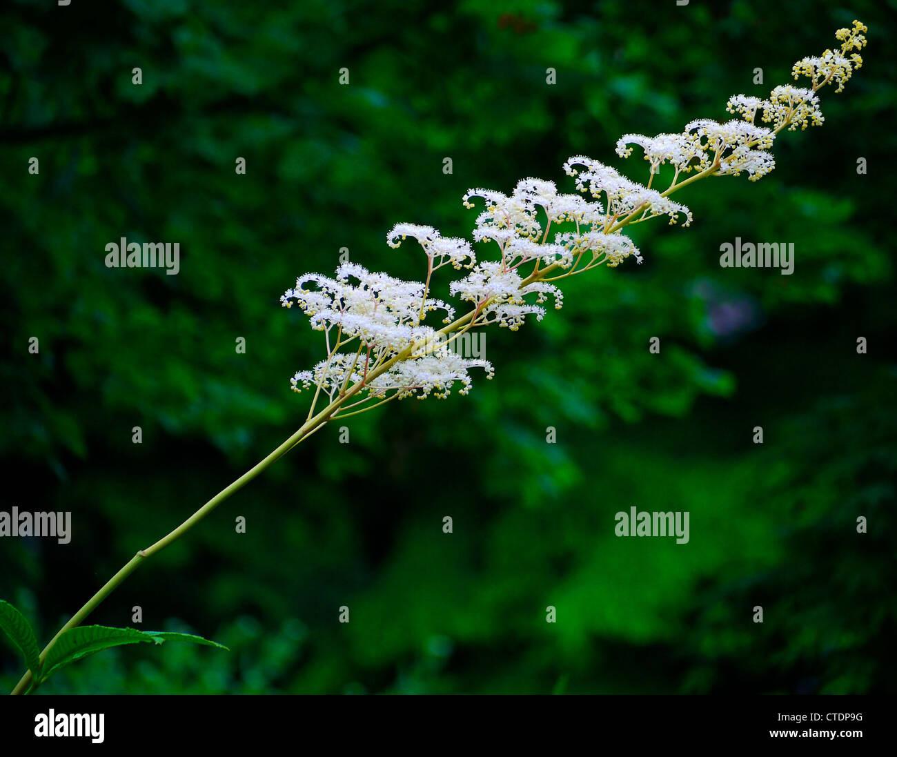 Single stem of tiny white feather like flowers surrounded by green single stem of tiny white feather like flowers surrounded by green foliage mightylinksfo