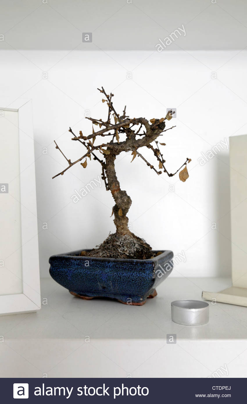 How To Tell If A Bonsai Tree Is Dead Bonsai Tree