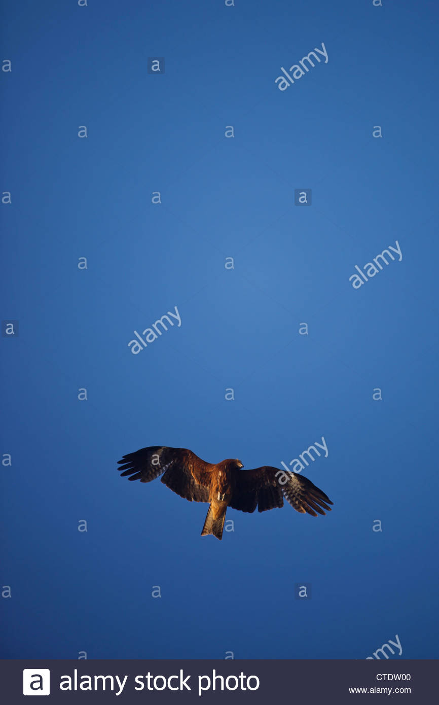Enoshima, Japan, May 5, 2012 - A Japanese hawk flys overhead in front of the sun at Enoshima beach, south of Tokyo.Stock Photo