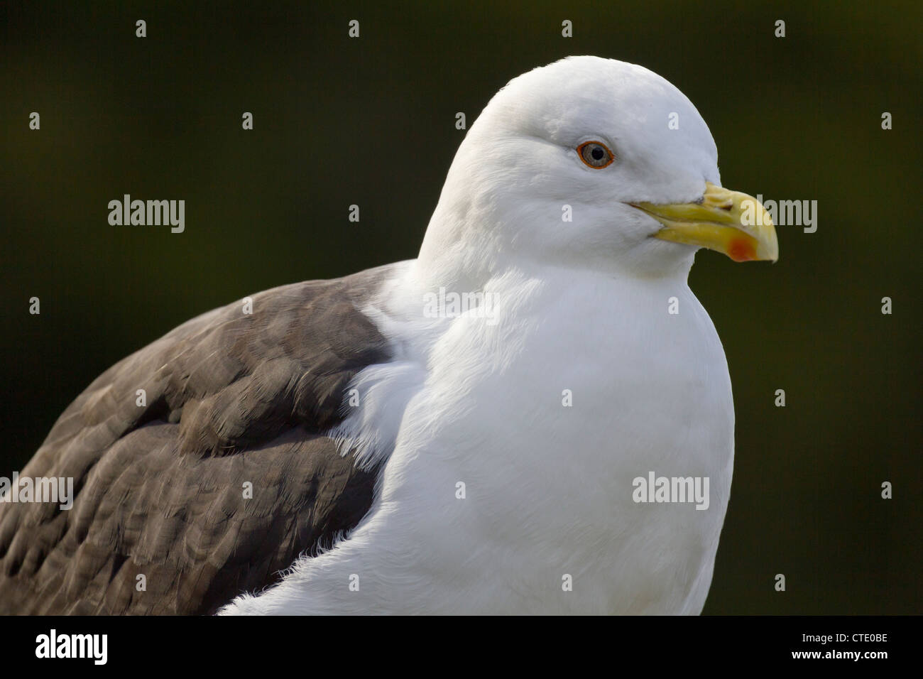 Black-backed seagull at Whangarei, New Zealand - Stock Image