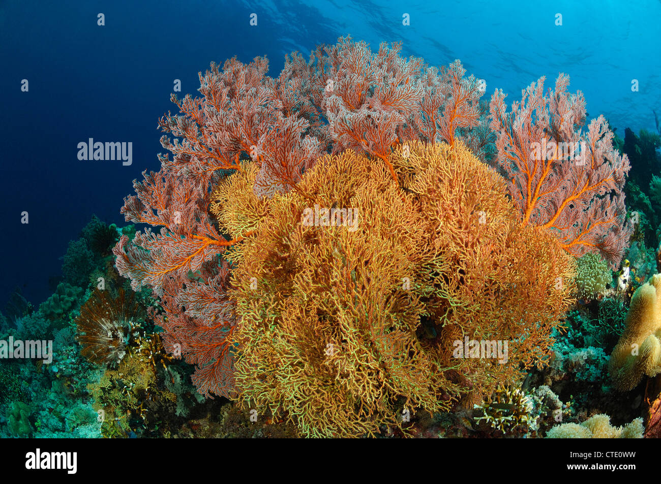Coral Reef of Bunaken, North Sulawesi, Indonesia - Stock Image