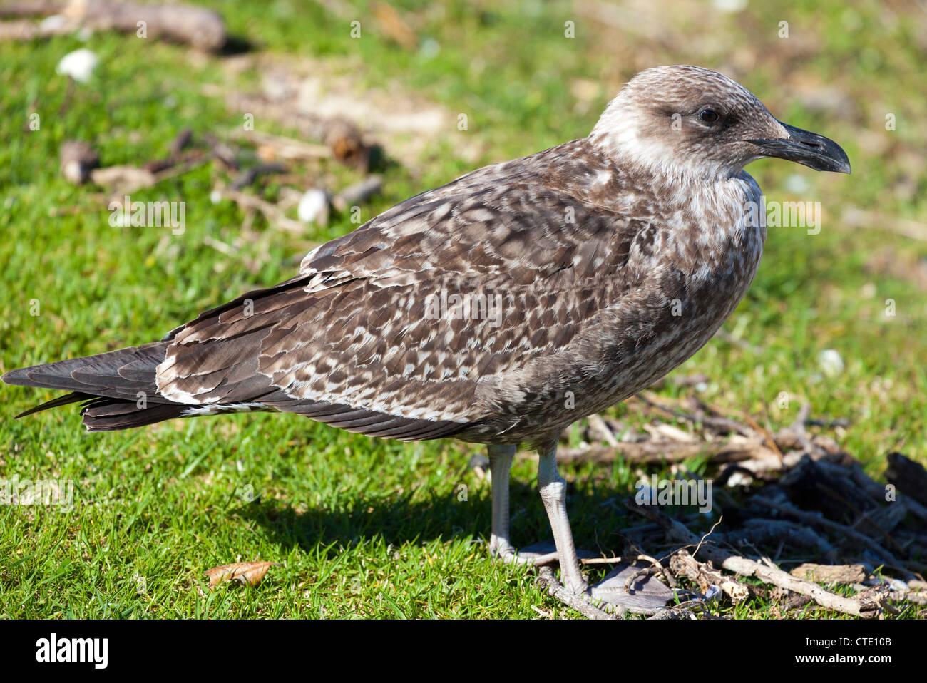 Juvenile seagull, Bay of Islands, New Zealand - Stock Image