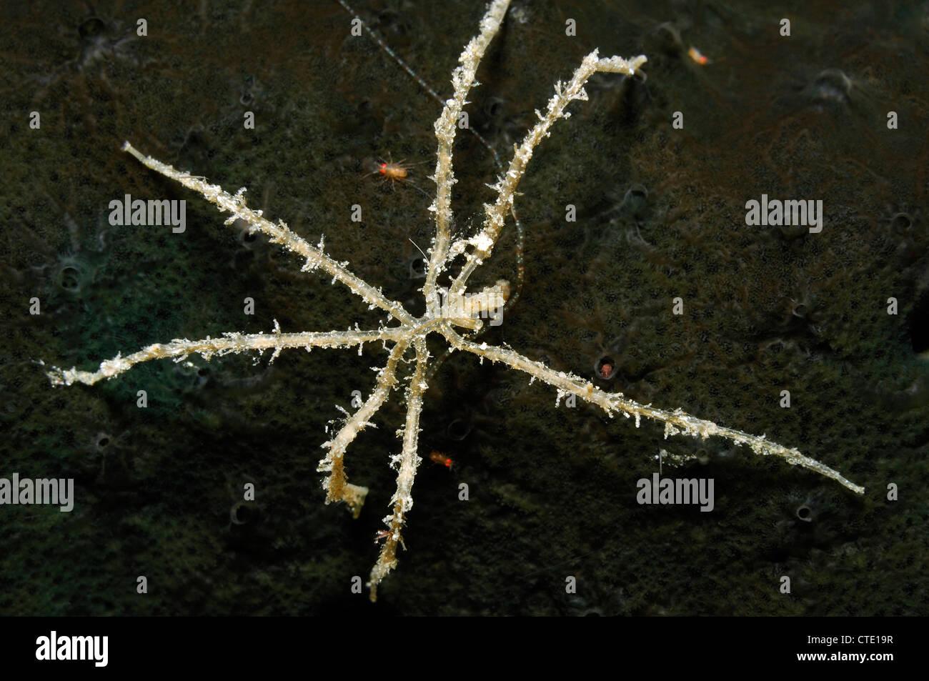 Marine Sea Spider, Nymphon sp., Bunaken, North Sulawesi, Indonesia - Stock Image