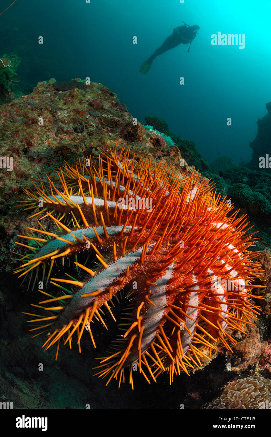 Crown-of-Thorns Starfish on Coral Reef, Acanthaster planci, Phi Phi Islands, Thailand - Stock Image