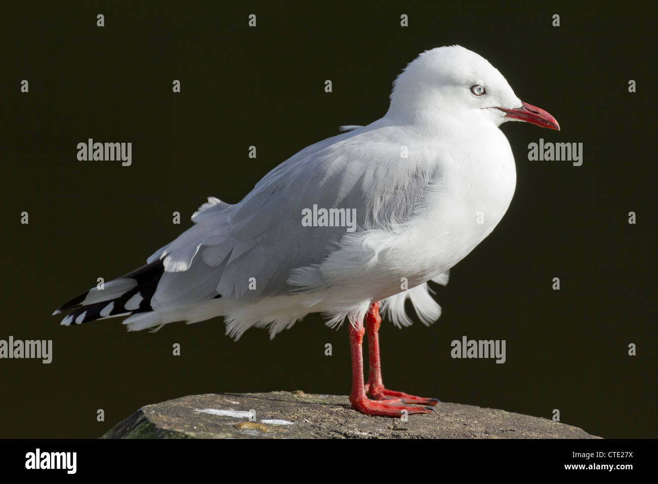 Red-billed seagull at Whangarei, New Zealand - Stock Image