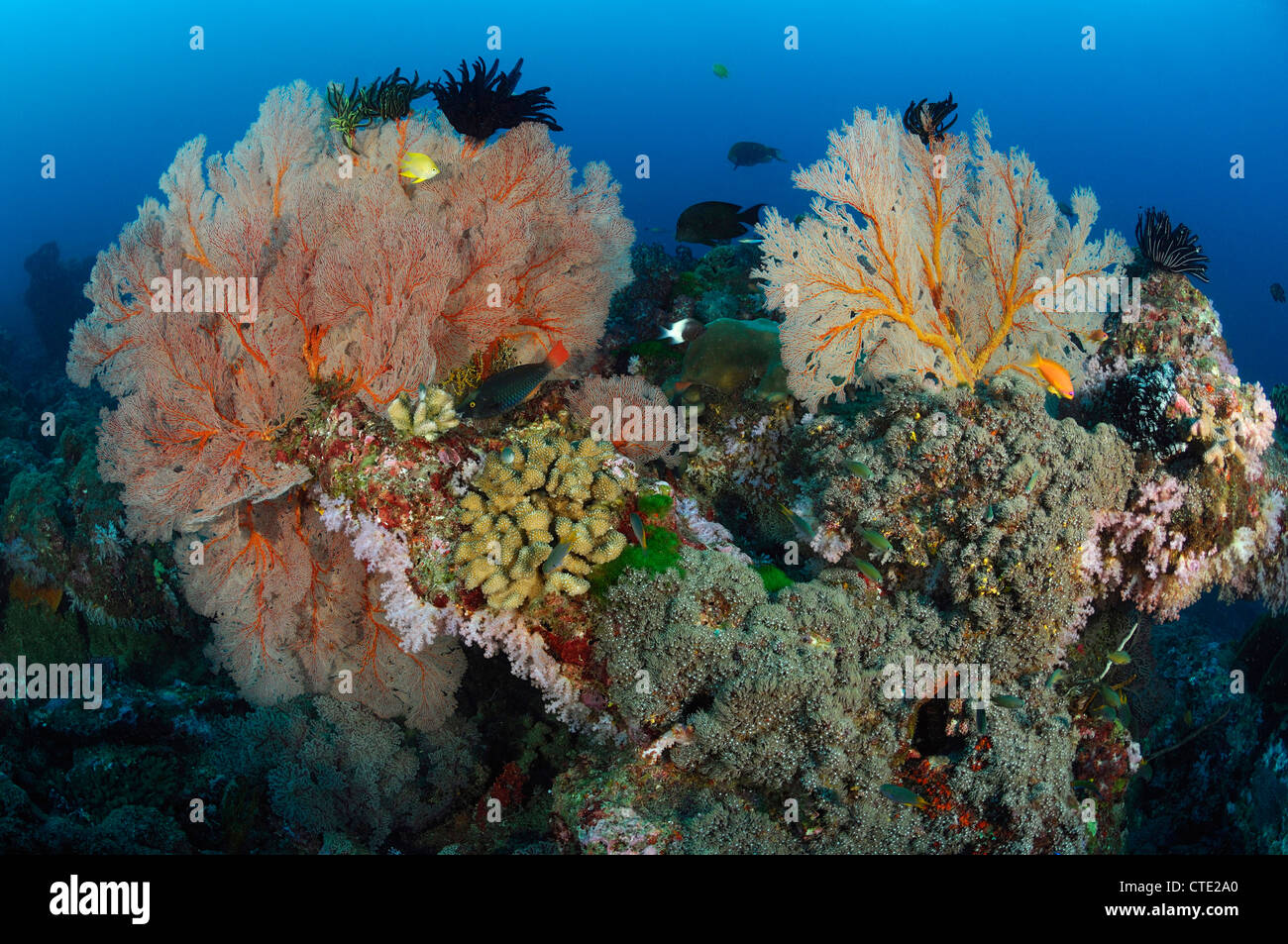 Seafan in Coral Reef, Melithaea sp., Similan Islands, Thailand - Stock Image