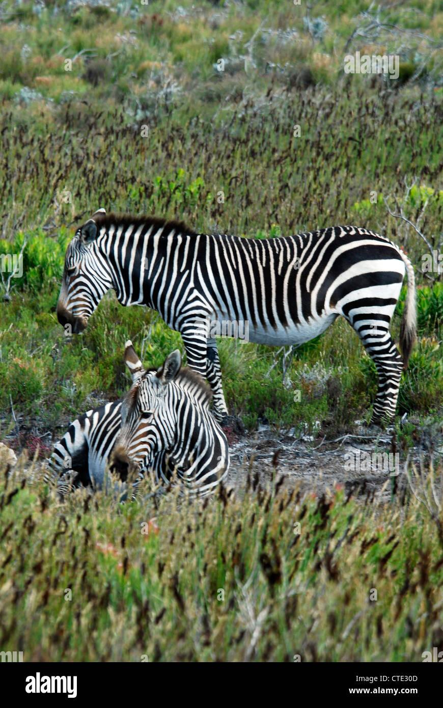 The Cape mountain zebra (Equus zebra zebra) Stock Photo