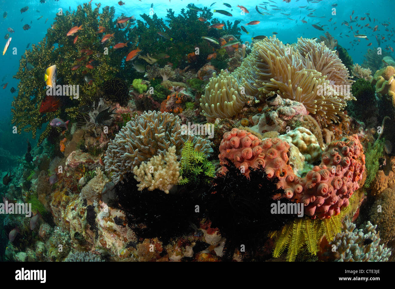 Colorful Coral Reef, Cannibal Rock, Rinca, Indonesia - Stock Image