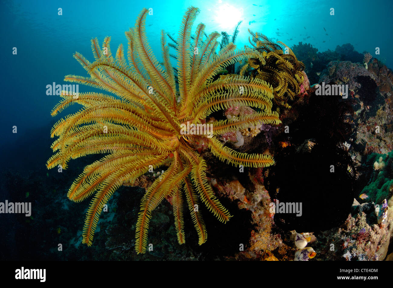 Yellow Crinoid in Coral Reef, Comanthina sp., Komodo, Indonesia - Stock Image