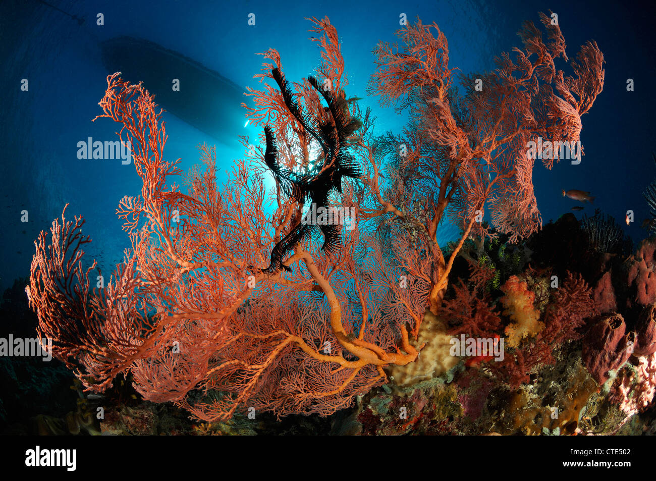 Seafan in Coral Reef, Melithaea sp., Alor, Indonesia - Stock Image