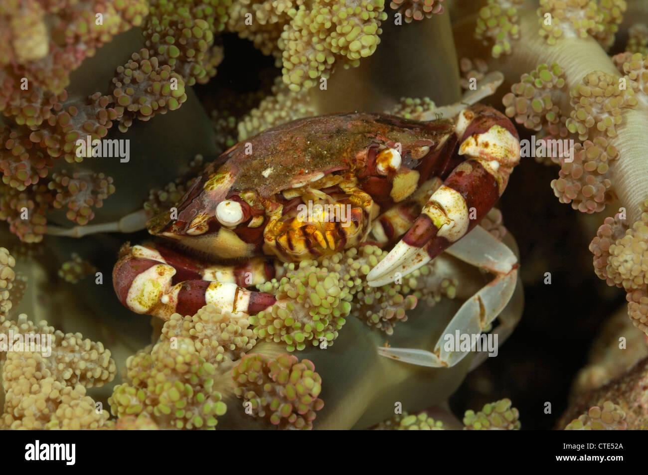 Coral crab, Lissocarcinus leavis, Alor, Indonesia - Stock Image