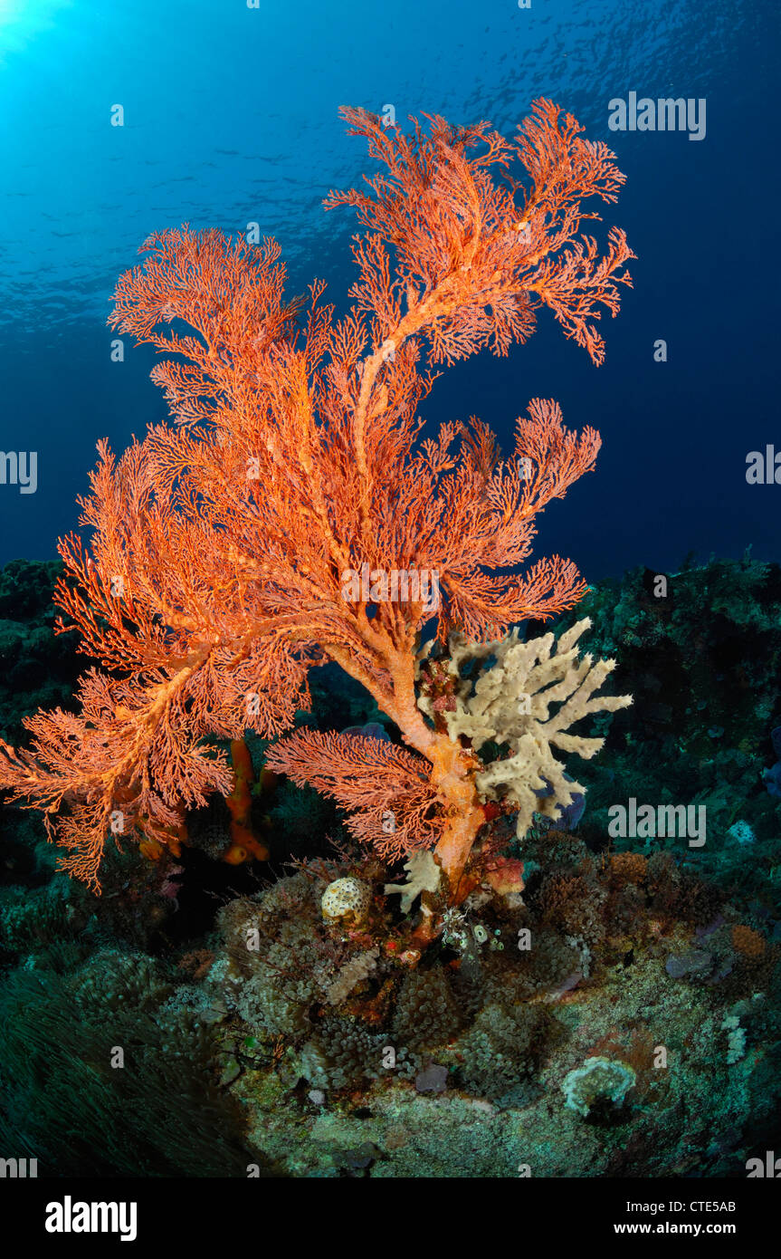 Sea Fan in Coral Reef, Melithaea sp., Alor, Indonesia - Stock Image