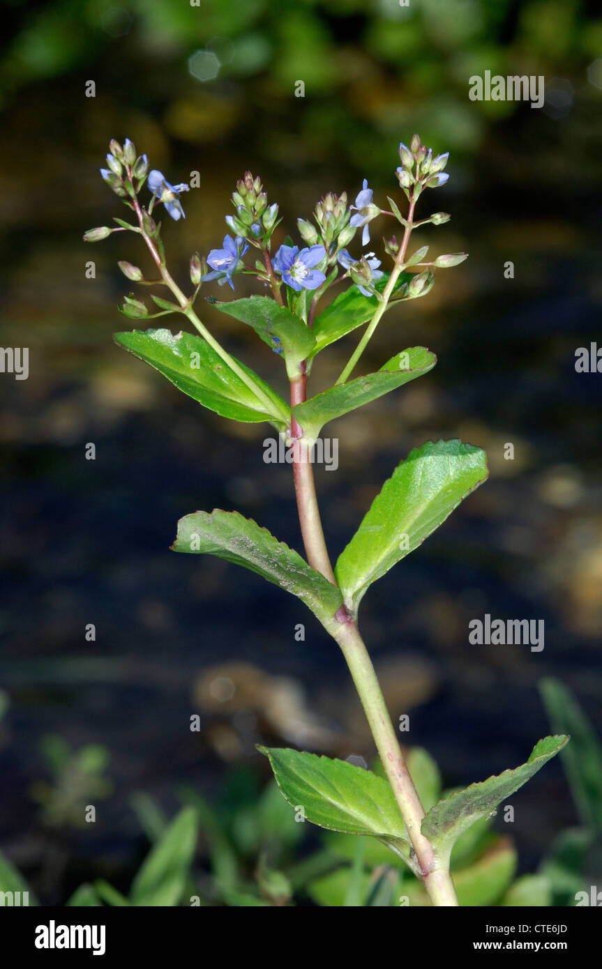 BROOKLIME Veronica beccabunga (Scrophulariaceae) Stock Photo