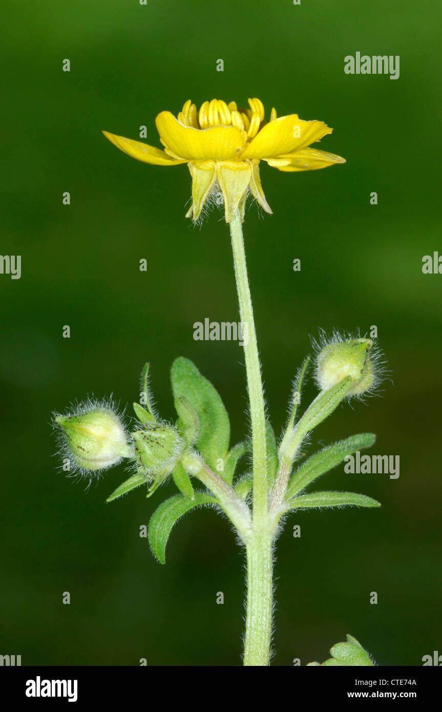 HAIRY BUTTERCUP Ranunculus sardous (Ranunculaceae) - Stock Image