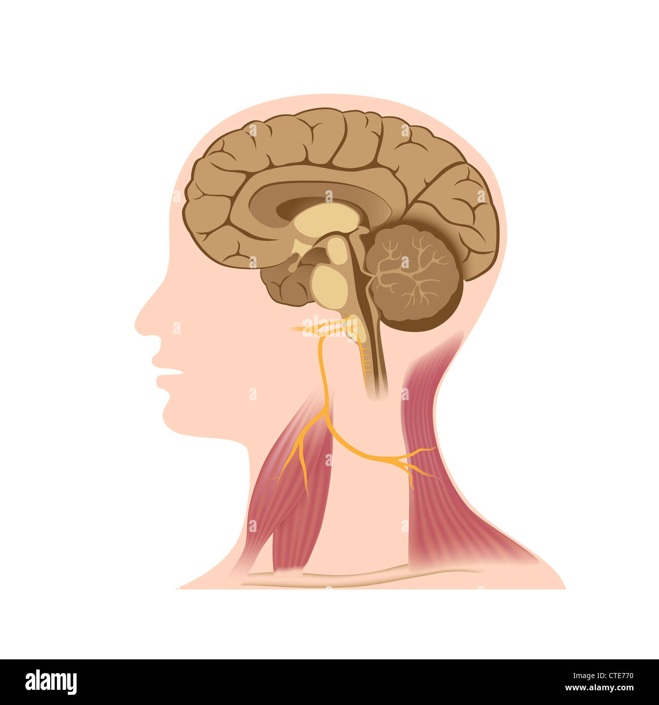 Vagus Nerve Stock Photos & Vagus Nerve Stock Images - Alamy