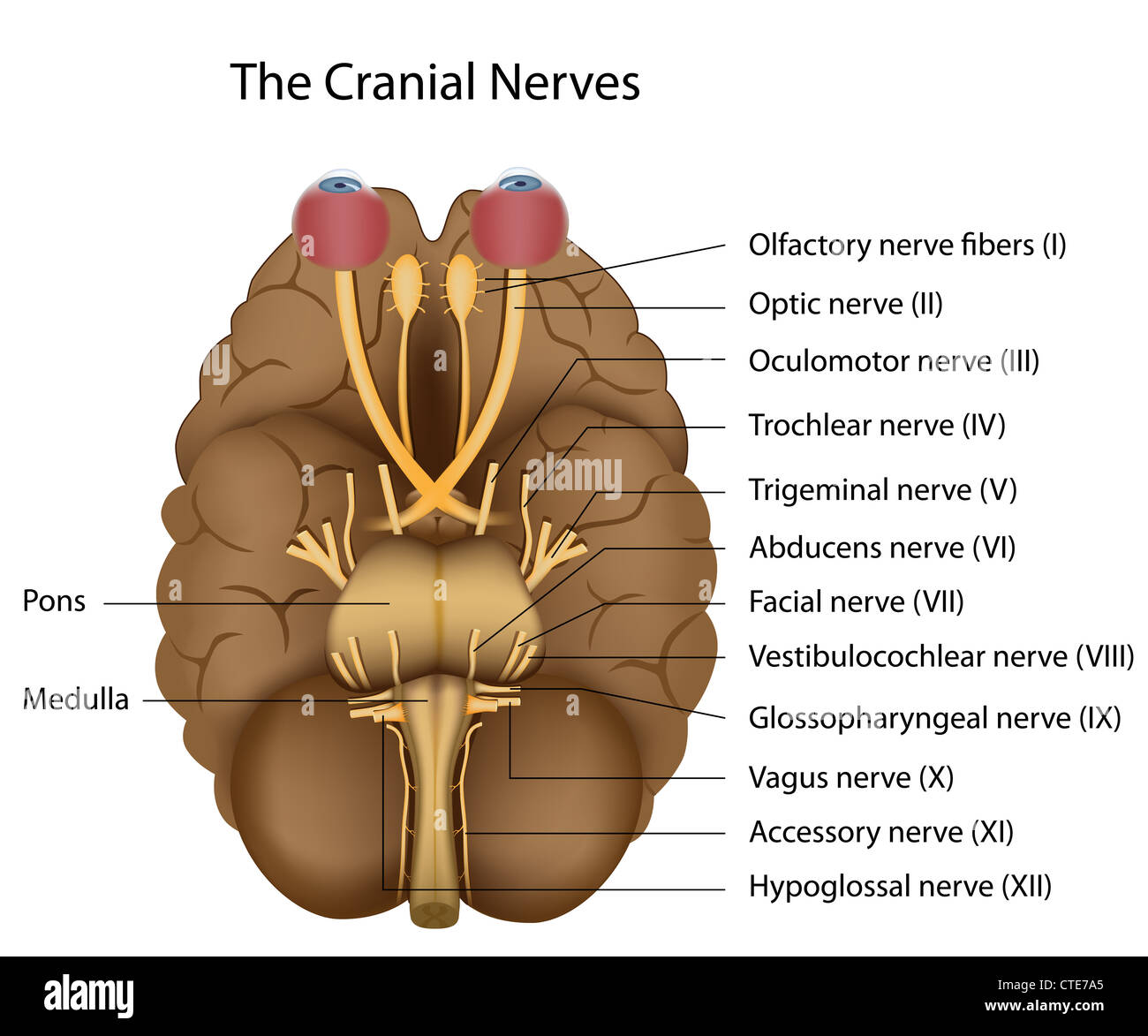 The 12 cranial nerves - Stock Image