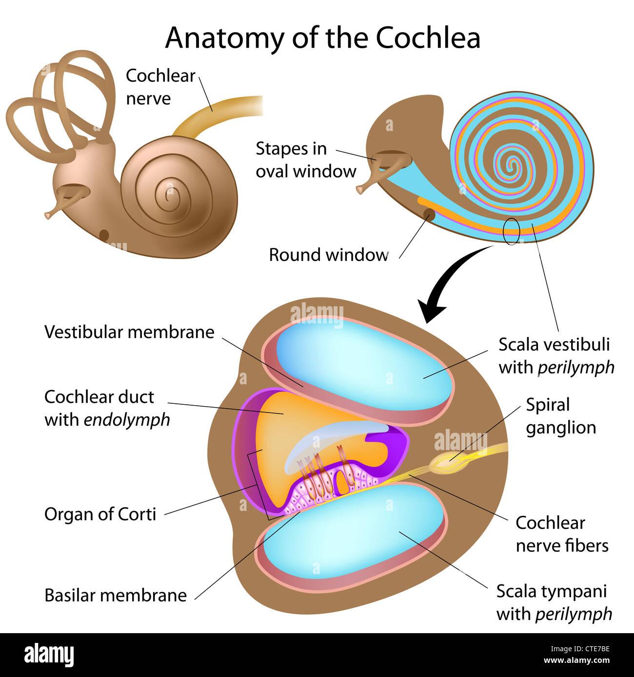 Anatomy Of The Cochlea Of Human Ear Stock Photo 49485618 Alamy