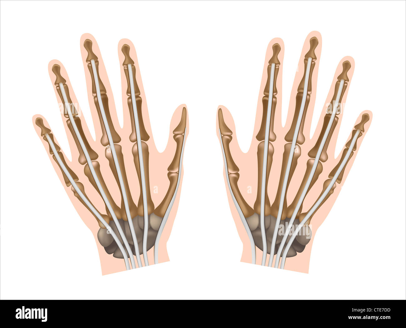 Distal Phalanges Cut Out Stock Images Pictures Alamy