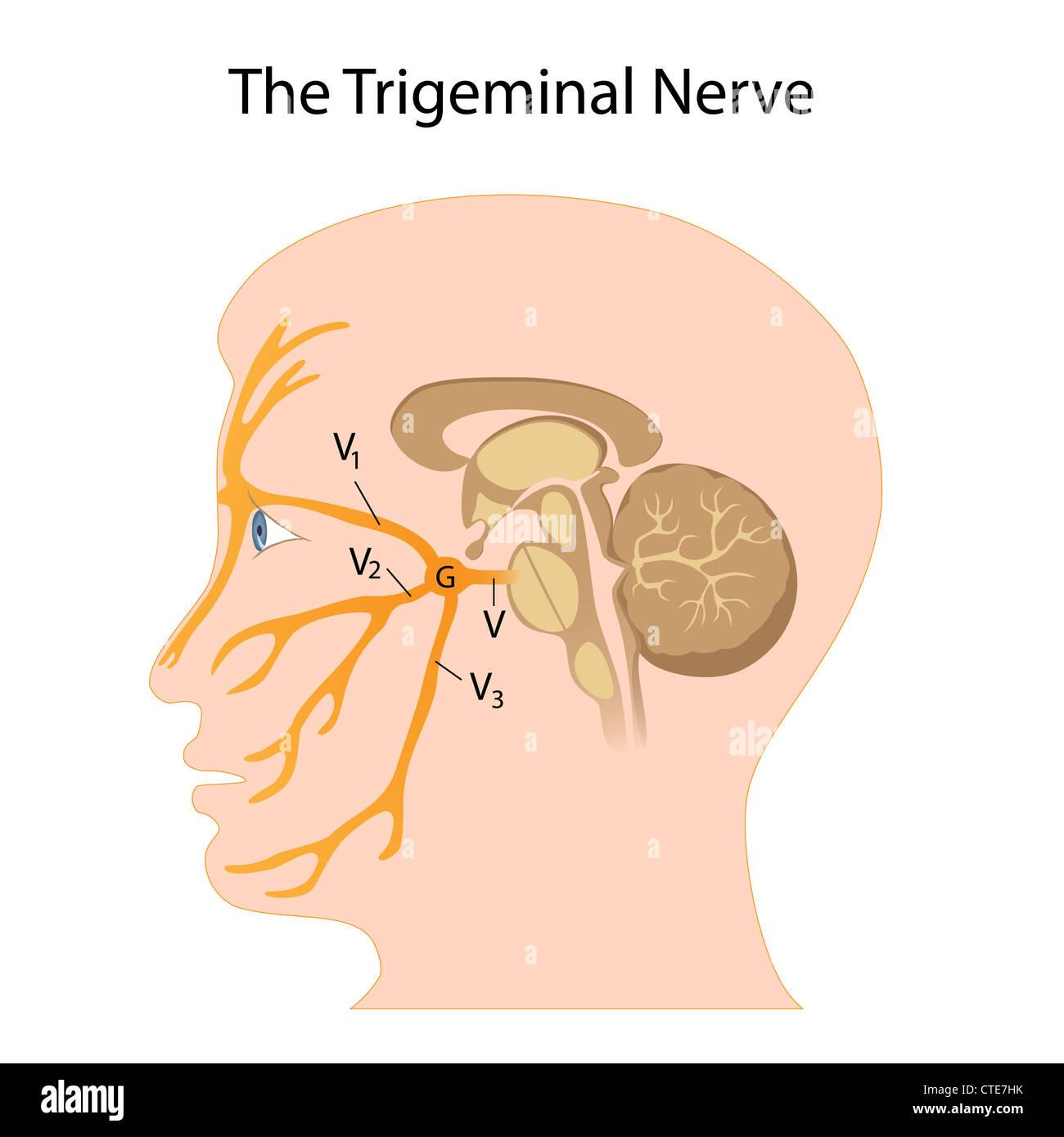The trigeminal nerve Stock Photo: 49485791 - Alamy
