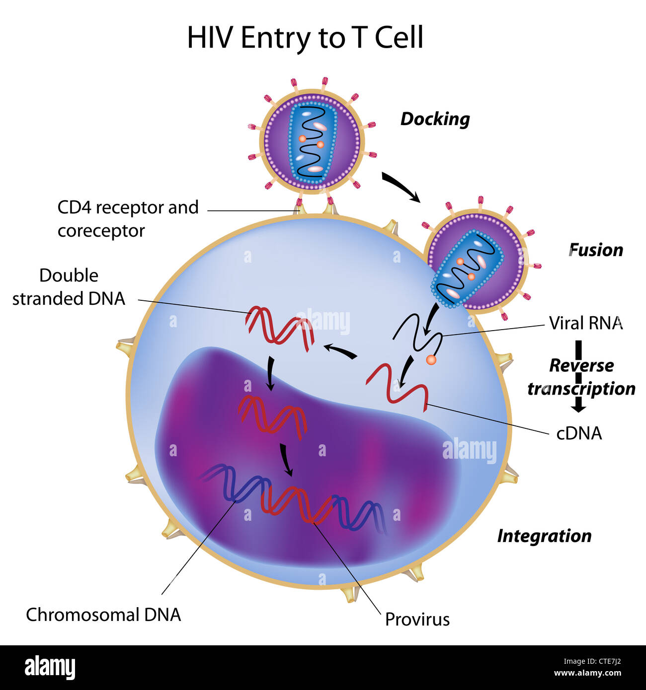 HIV entry to T cell - Stock Image