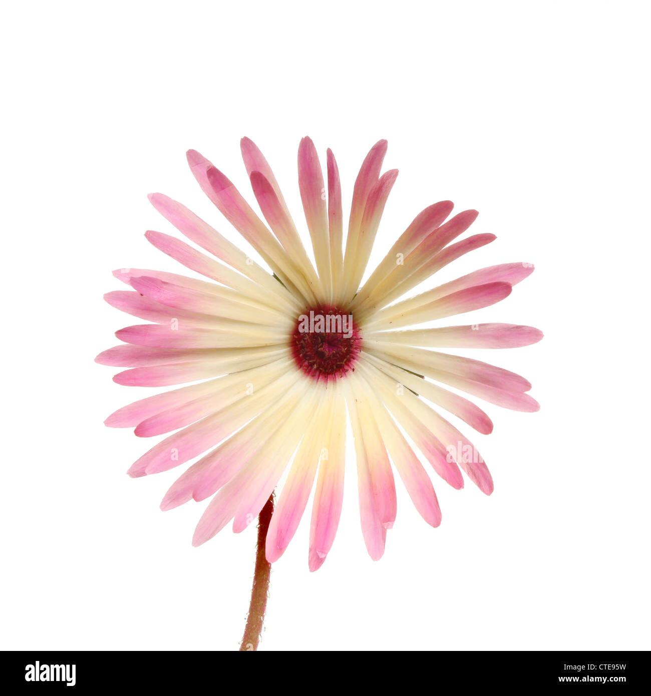 Daisy flower meaning stock photos daisy flower meaning stock mesembryanthemum flower meaning midday opening isolated against white stock image izmirmasajfo