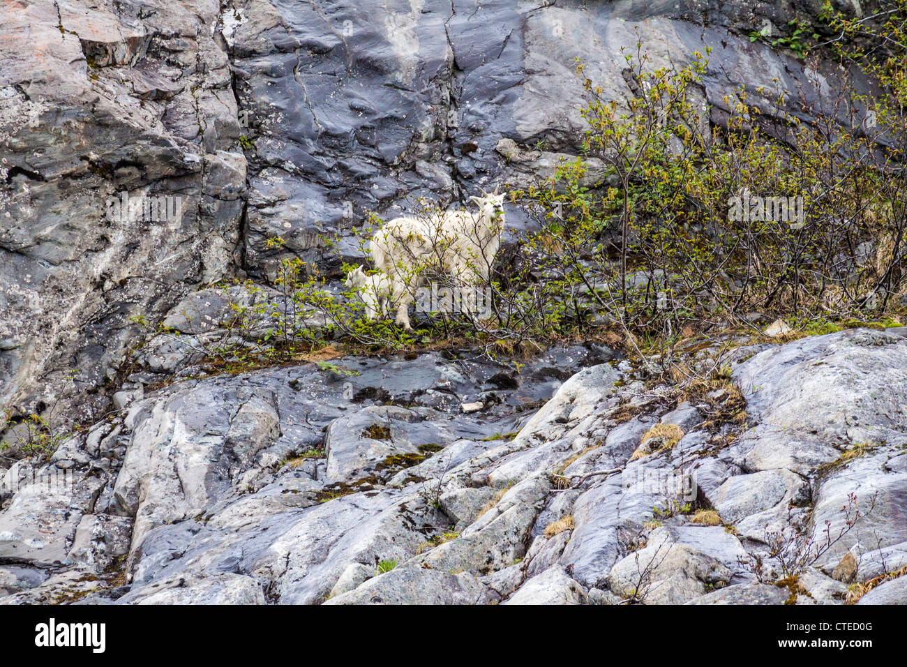 Mountain goat nanny and kid on mountainside in Kenai Fjords National Park. - Stock Image