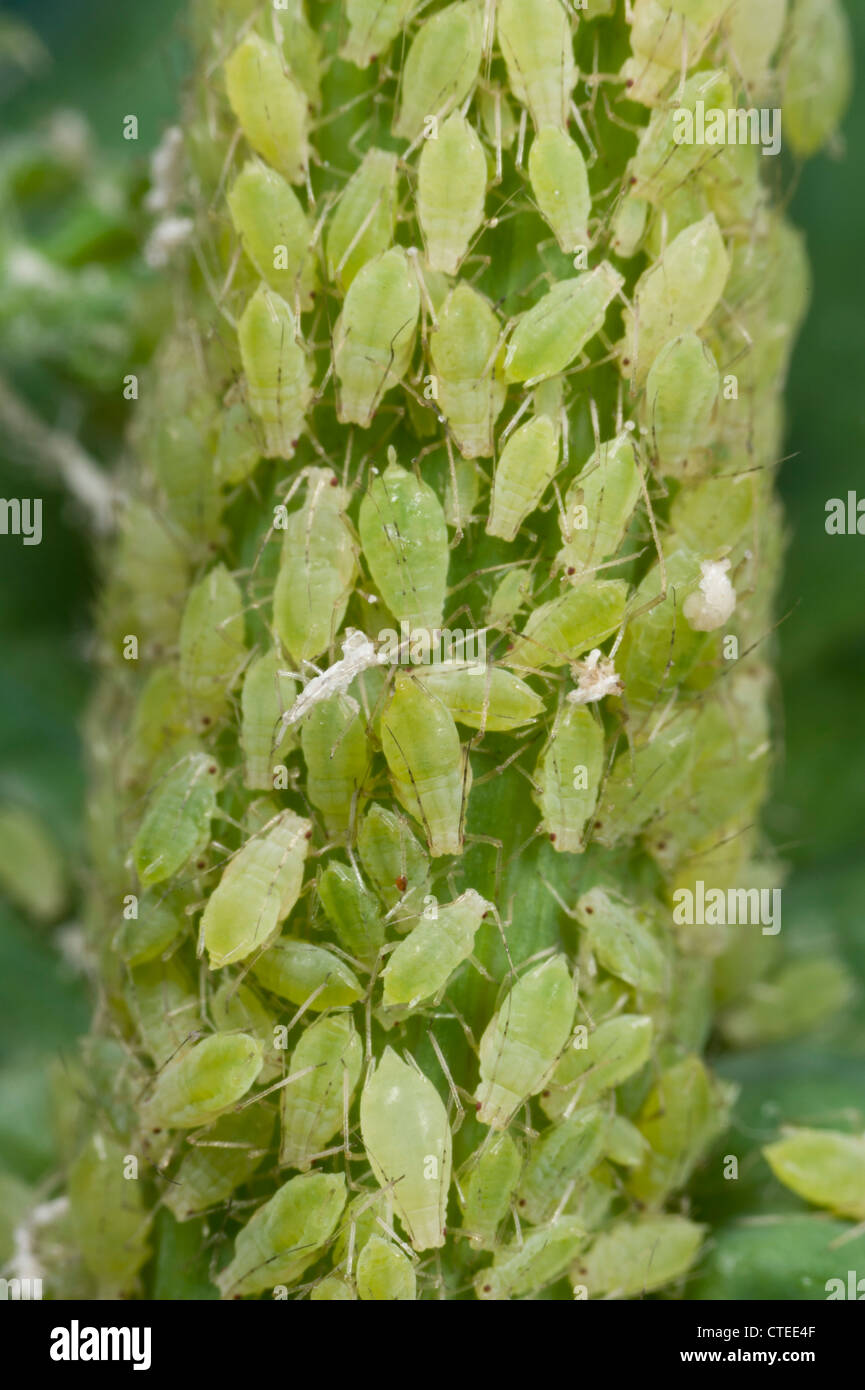 Cluster of green peach aphids on sow thistle - Stock Image