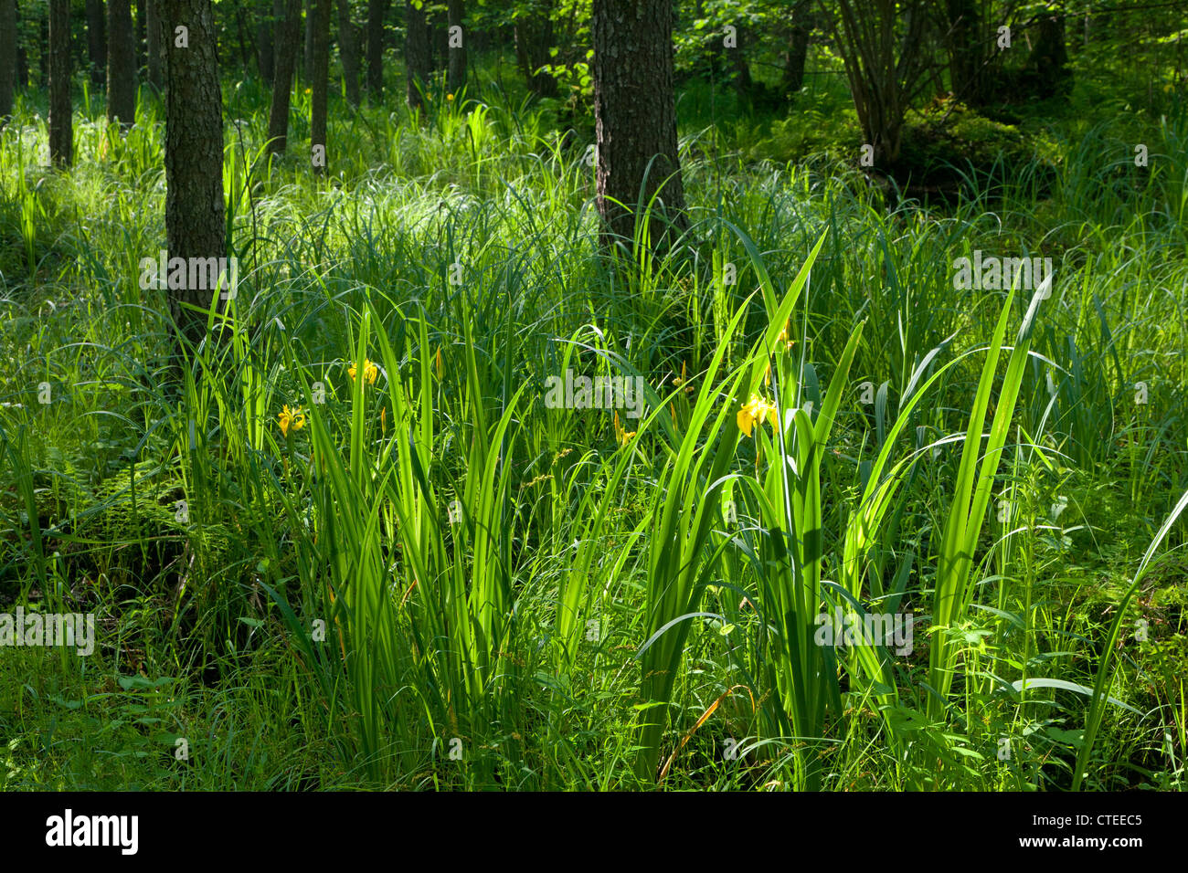 Flowering Yellow Water Flag bunch against sunrising light in morning - Stock Image