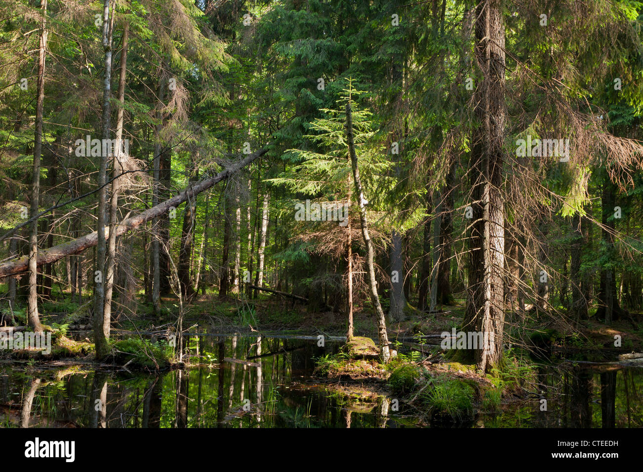 Coniferous stand of Bialowieza Forest in summer with spruces in water - Stock Image