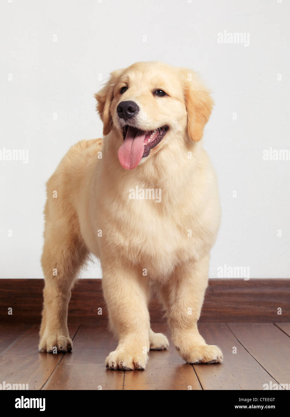 Golden Retriever Four Month Old Puppy Stock Photo 49491256 Alamy