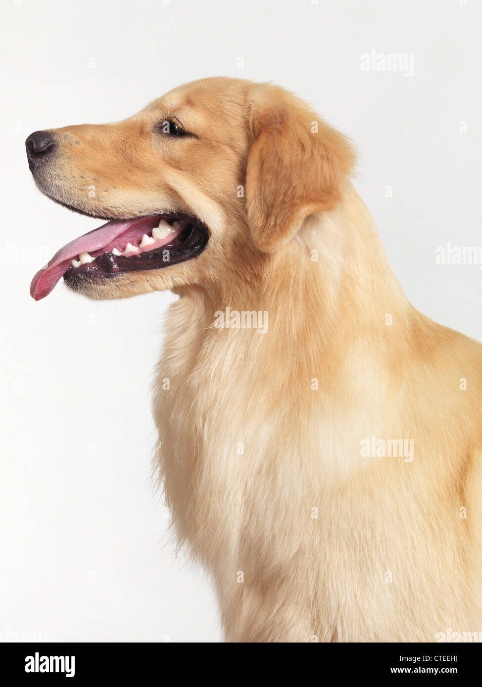 Golden Retriever four month old puppy profile portrait isolated on white background - Stock Image