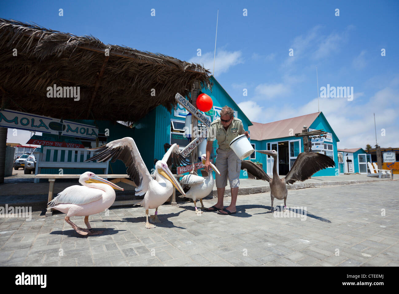 Feeding Great White Pelicans, Pelecanus onocrotalus, Walvis Bay, Namibia - Stock Image