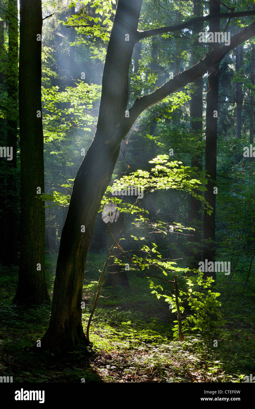Sunbeam entering misty deciduous stand rain after - Stock Image