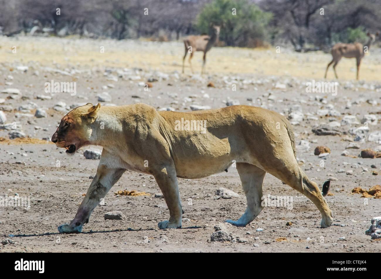 Lioness (Panthera leo) in the Etosha National Park, Namibia Stock Photo